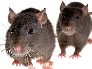 Insólito: Holanda utiliza ratas para resolver crímenes
