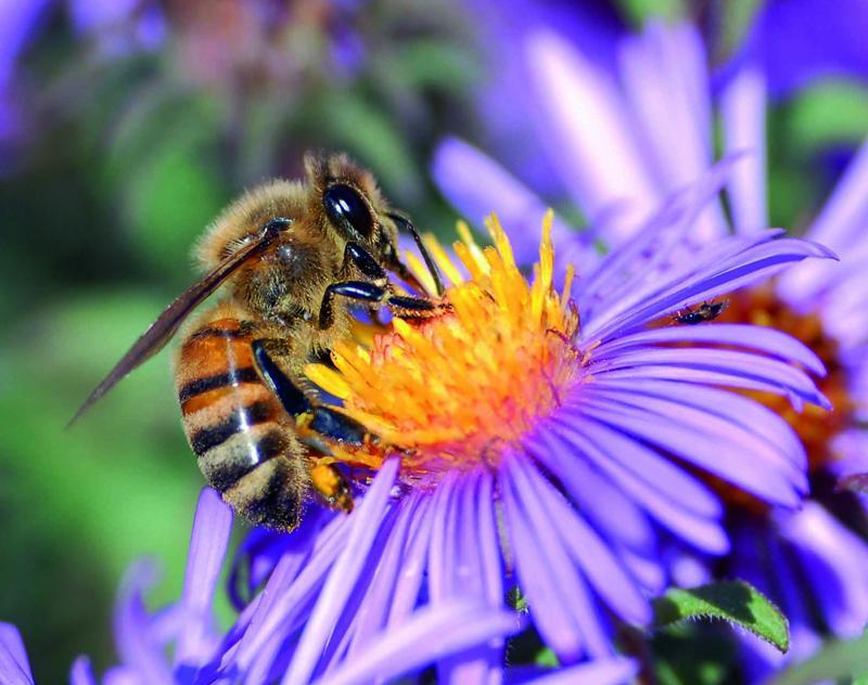 Conoce las flores que más gustan a las abejas