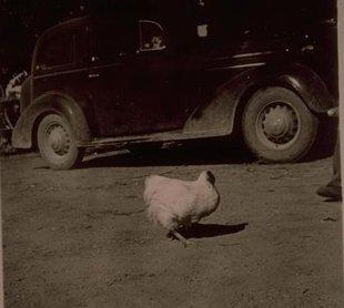 La rara historia del pollo que vivió sin cabeza