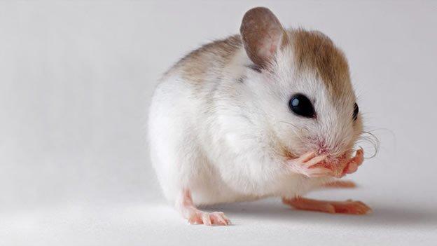 Científicos logran cultivar pelo humano en ratones