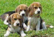 Insólito: Aumenta el consumo de marihuana entre perros