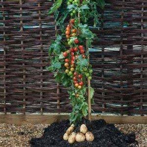 Tom Tato: La planta que da tomates y papas - Fotos