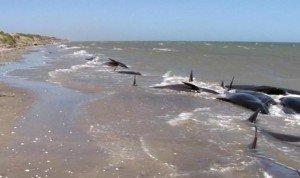 Decenas de ballenas varadas en Nueva Zelandia