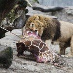 Zoológico de Copenhague causa polémica al matar a joven jirafa y dar sus restos a los leones - Fotos
