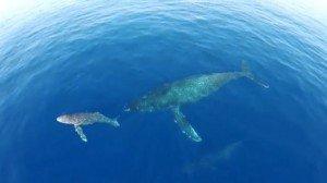 Drones graban a delfines y ballenas emigrando - Ver Vídeo