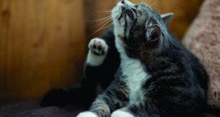 ¿Cómo evitar las garrapatas y pulgas en los gatos?